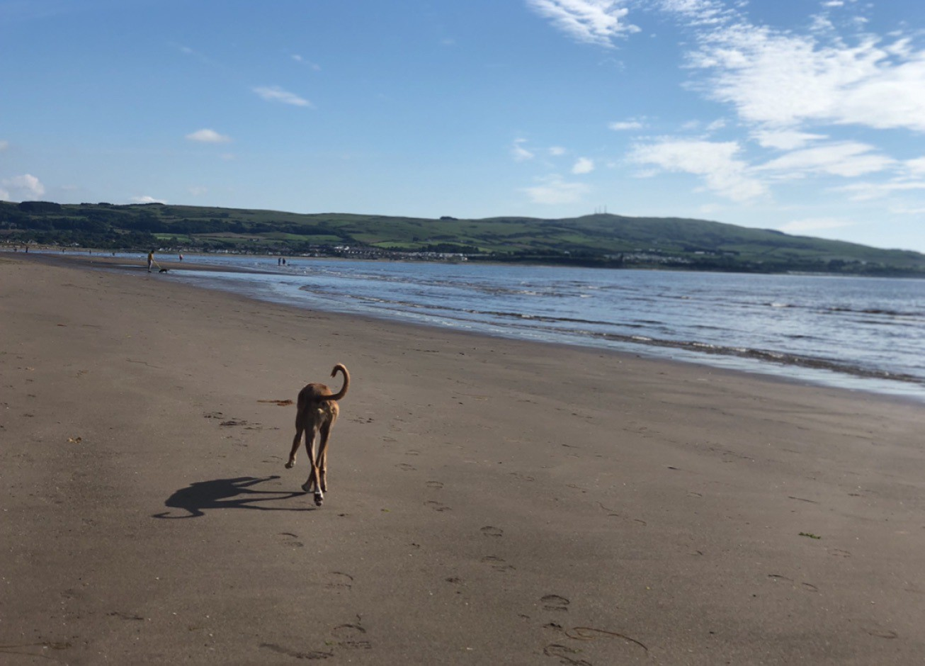 Ginger dog trotting happily along the beach, towards Greenan Castle